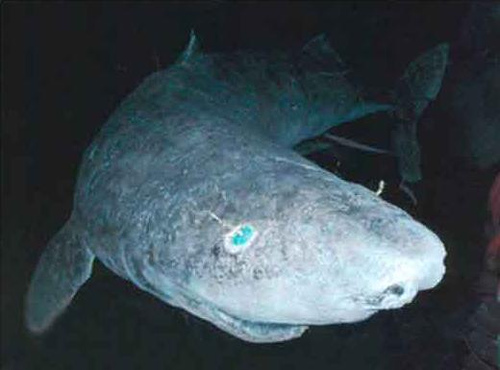 Greenland shark: 8 things you probably don't know about the fugliest shark around