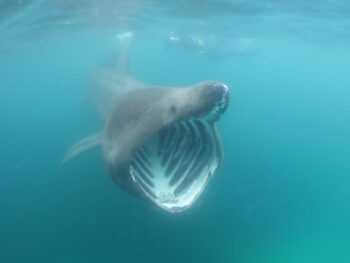 Basking shark swimming towards the camera with its mouth open