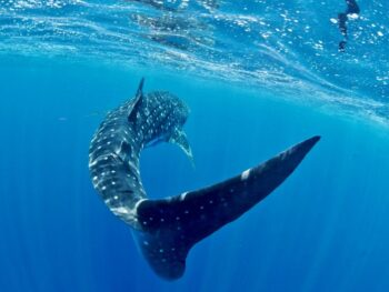 Photo of a whale shark's tail by Stella Diamant