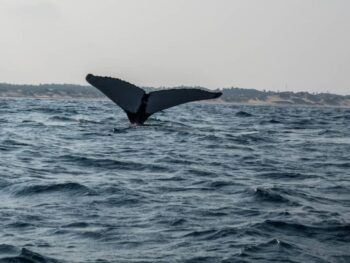 Whale tale disappearing into the ocean in front of the horizon