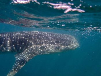 Whale shark swimming in the ocean
