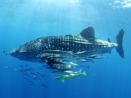 Image copyright Stella Diamant, The Madagascar Whale Shark Project