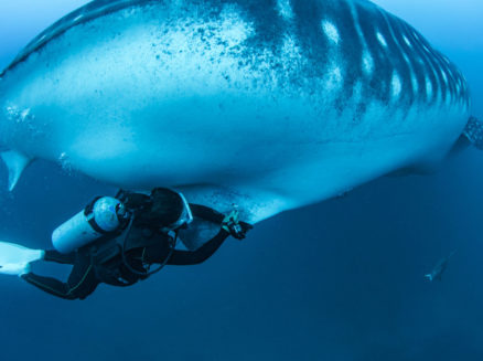 Photo by Dr. Simon J Pierce of a researcher scuba diving while taking blood samples from a wild whale shark in the Galapagos