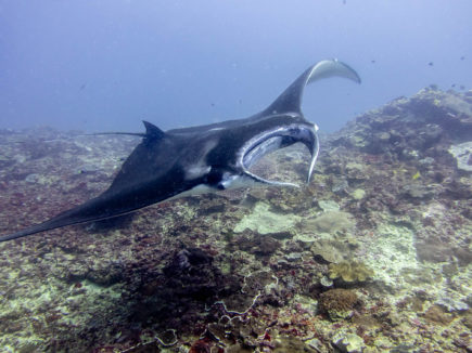 Manta ray swimming over the reef